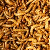 Έντομα & Ζωικές πρωτεϊνες